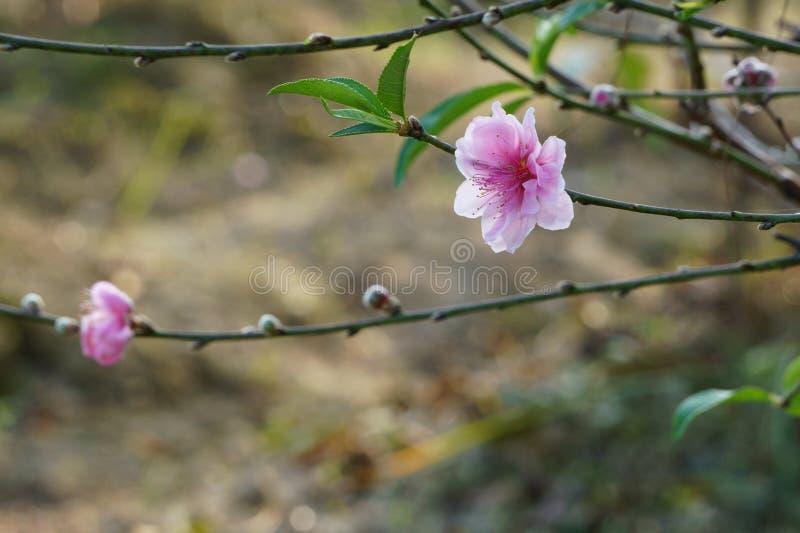 Filial av persikablomningen i vårdagjämning arkivfoto