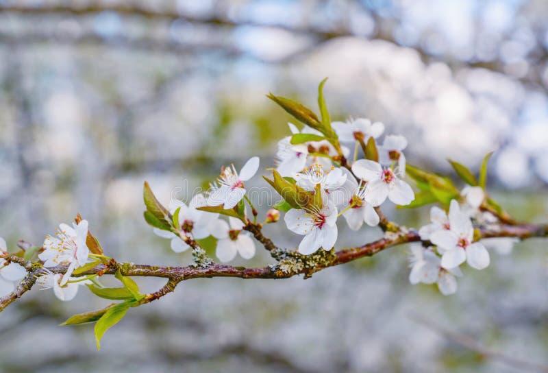 Filial av plommonträdet med blomningar royaltyfri bild