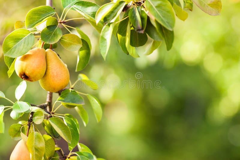 Filial av slutet för päronträd upp royaltyfri foto