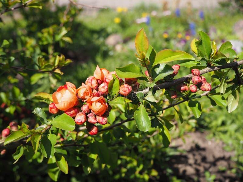 Filial av trädet som blommar med röda blommor på solig dag fotografering för bildbyråer