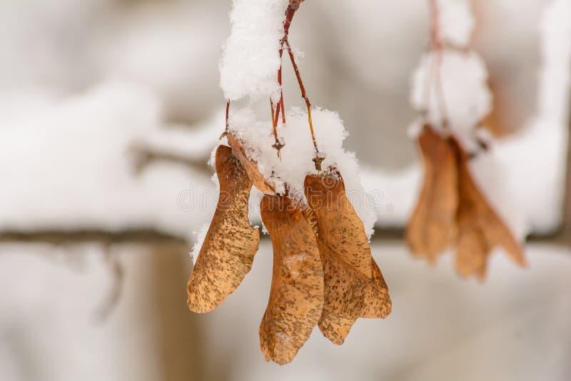 Filial av trädet under snö, lönnfrö under snö arkivbild