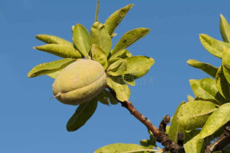 Filial da árvore de amêndoa fotografia de stock royalty free