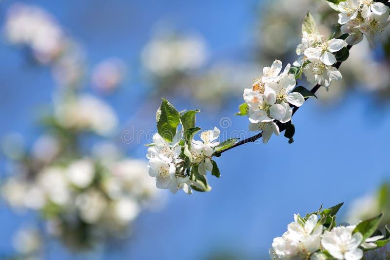 Filial da árvore de maçã fotografia de stock royalty free