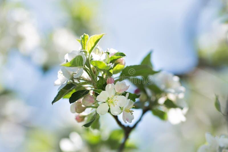 Filial da árvore de maçã imagens de stock