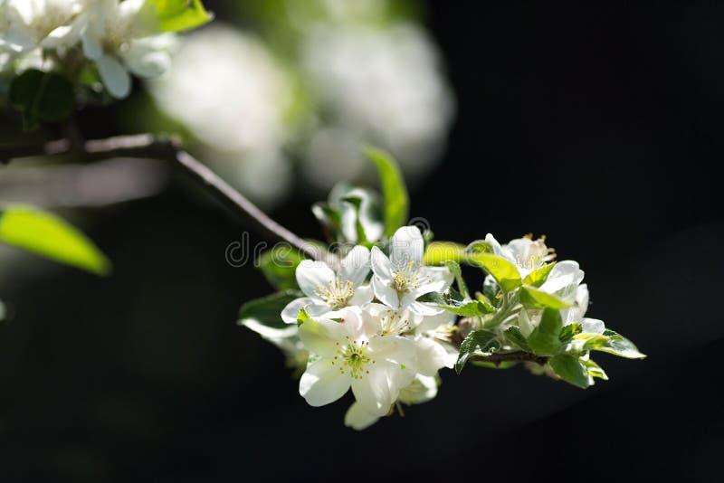 Filial da árvore de maçã imagem de stock