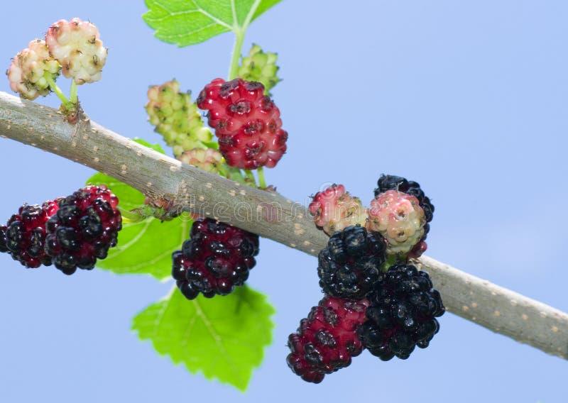 Filial da árvore de mulberry com frutas foto de stock royalty free