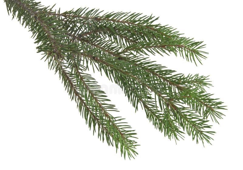 Filial da árvore de Natal isolada no branco imagem de stock