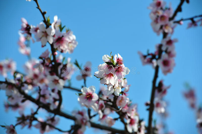 Filial da amêndoa da flor fotografia de stock royalty free