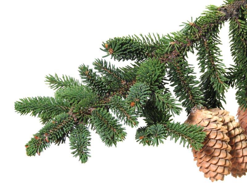 filial da Pele-árvore com estróbilo imagens de stock royalty free