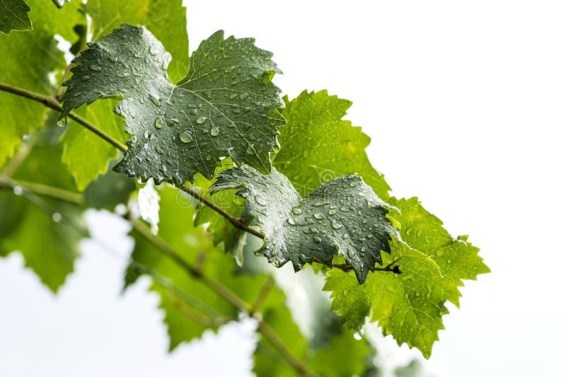 Filial da vinha Folha da uva com gotas da água fotografia de stock royalty free