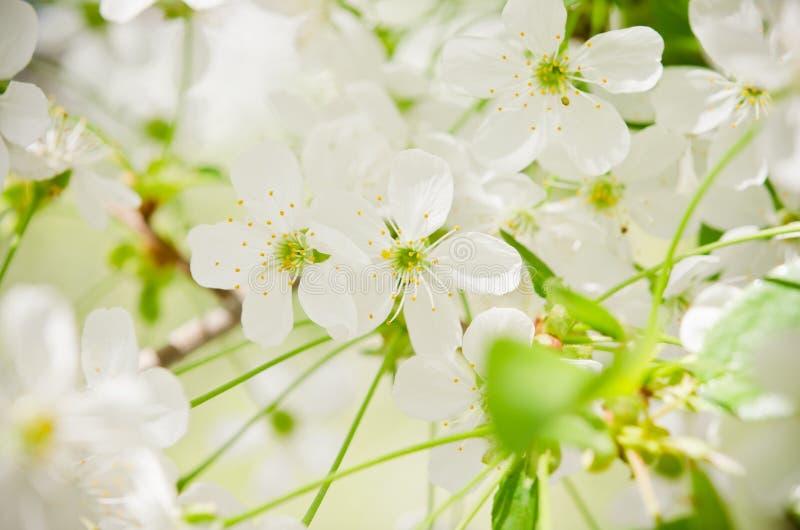 Filial de árvore com botões e flores. Close up fotos de stock royalty free