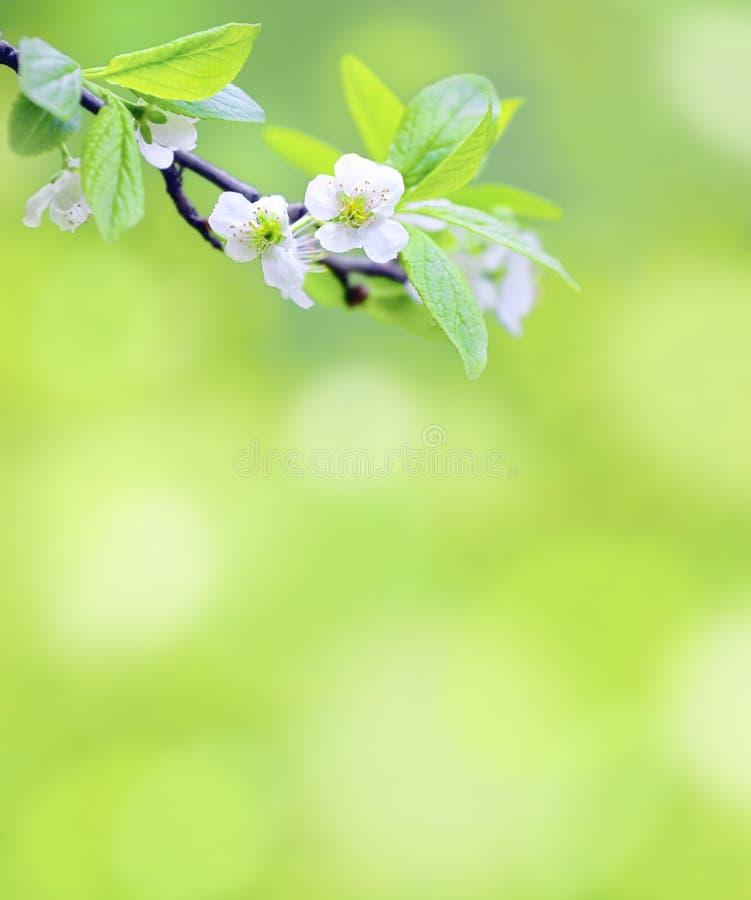 Filial de árvore com flores da cereja fotografia de stock