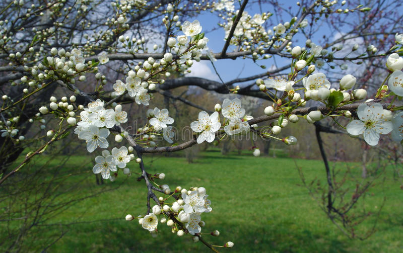 Filial de árvore de florescência da maçã imagem de stock