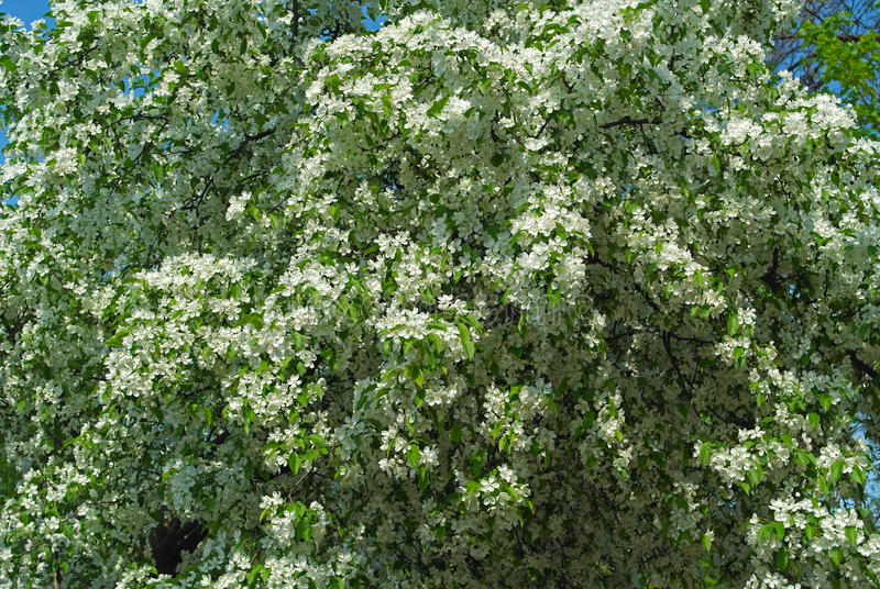 Filial de árvore de florescência da maçã fotos de stock