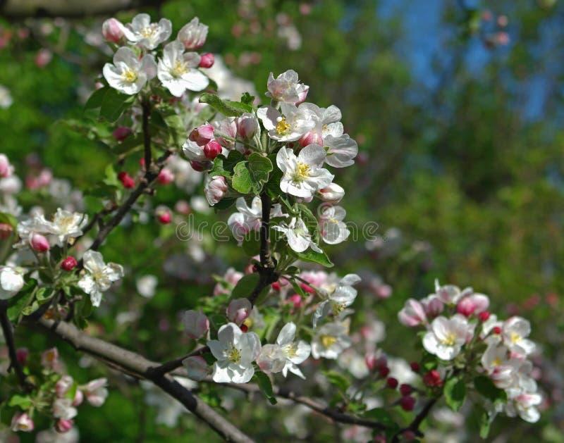 Filial de árvore de florescência da maçã fotos de stock royalty free