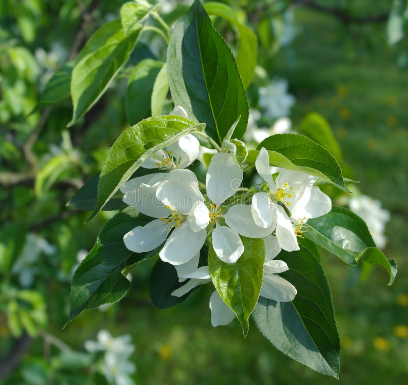 Filial de árvore de florescência da maçã foto de stock