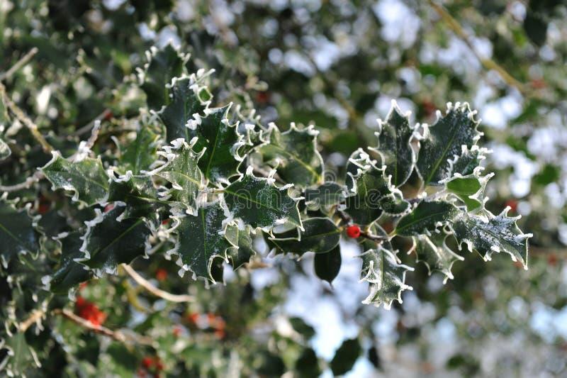 Filial de árvore do azevinho imagem de stock