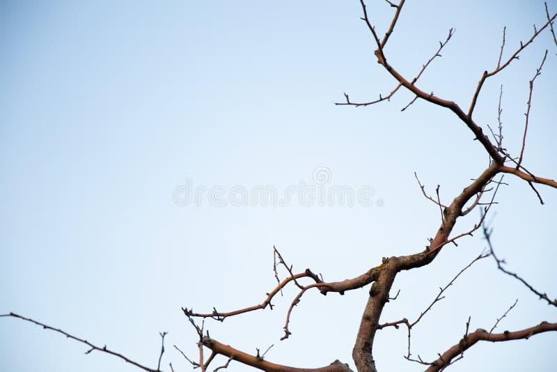 Filial de árvore inoperante de encontro ao céu azul fotografia de stock royalty free
