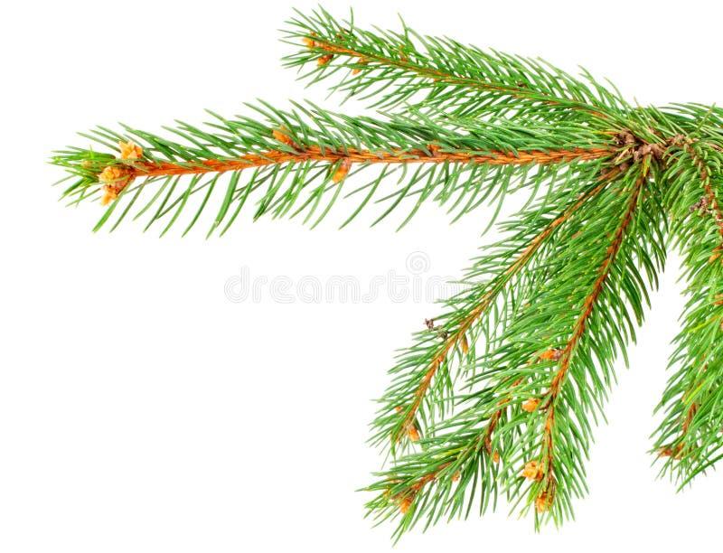 Filial de árvore verde do pinho imagem de stock