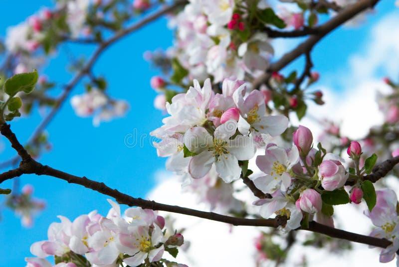 Filial de Apple na flor fotografia de stock