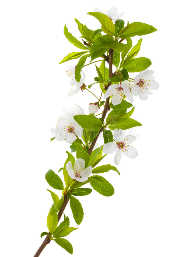 Filial de florescência da árvore de ameixa imagem de stock