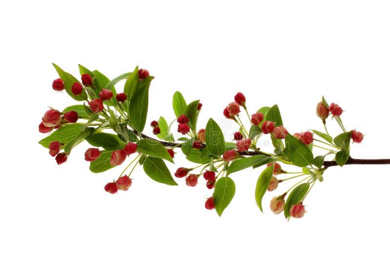 Filial de florescência da árvore de Apple na mola imagem de stock