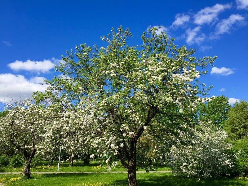 Filial de florescência da árvore de maçã foto de stock royalty free