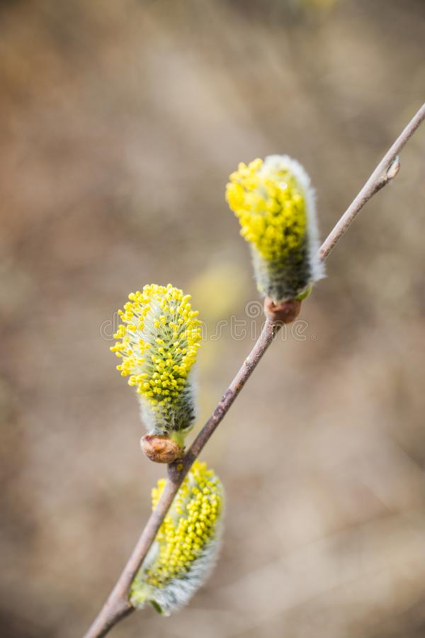 Filial de florescência do salgueiro Flores bonitas do bichano-salgueiro foto de stock