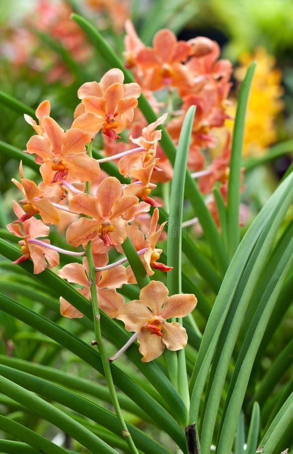 Filial de orquídeas alaranjadas foto de stock royalty free