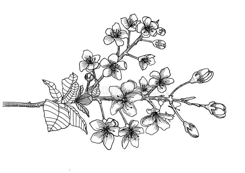 Filial de sakura Mão desenhada linha gráficos ilustração royalty free