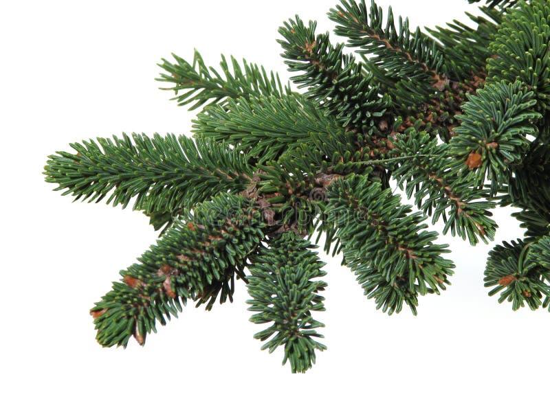 Filial de uma árvore conífera, pele-árvore fotos de stock