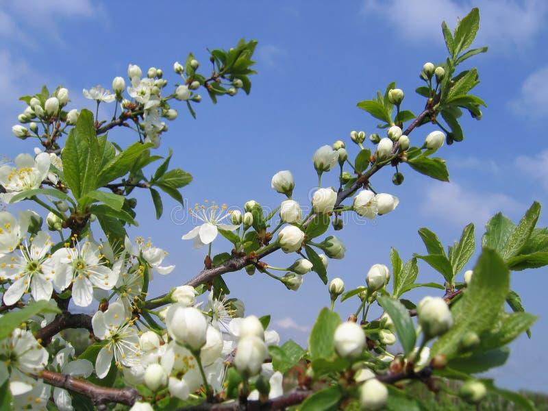 Filial de uma árvore de florescência foto de stock