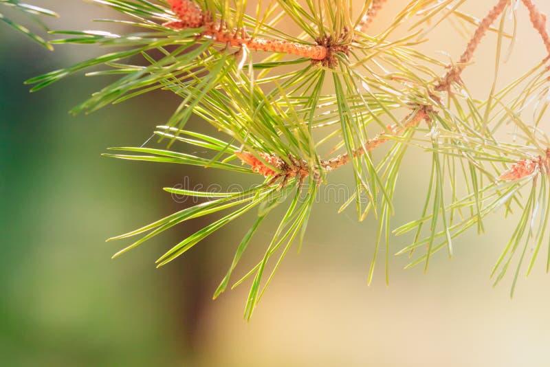 Filial de uma árvore de pinho fotos de stock royalty free