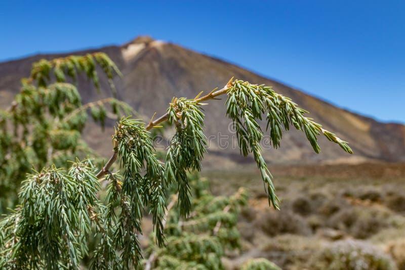 Filial do Endemic Canary Cedar, feche Foco seletivo Vegetação endêmica rara e campos de lava ao redor do vulcão Teide na imagem de stock royalty free