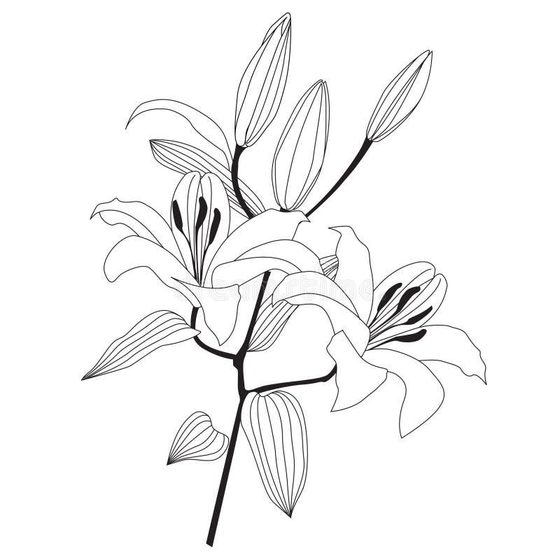 Filial do lírio branco ilustração royalty free