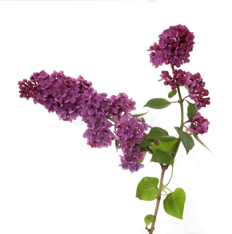 Filial do Lilac fotos de stock royalty free