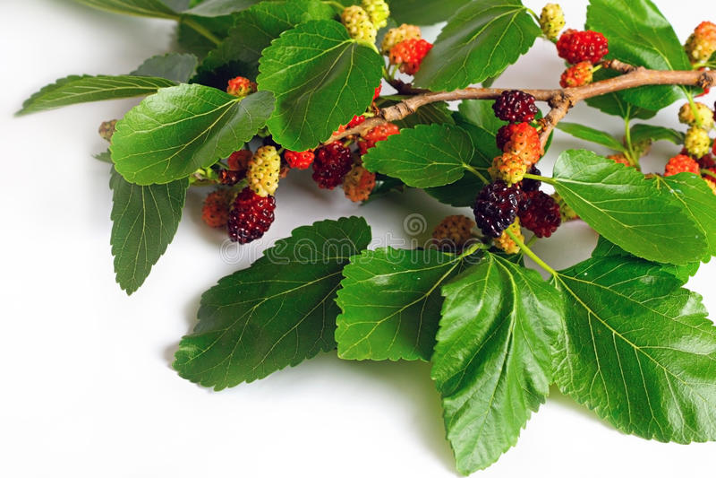 Filial do Mulberry fotografia de stock royalty free