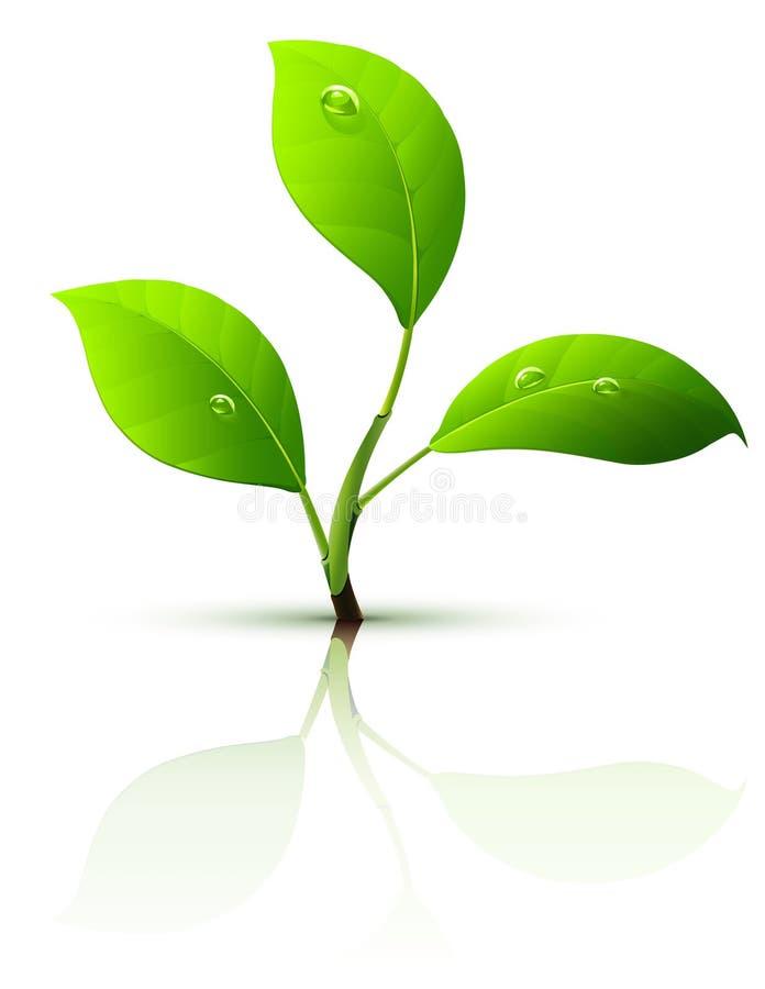 Filial do sprout com gotas das folhas e de orvalho do verde ilustração do vetor