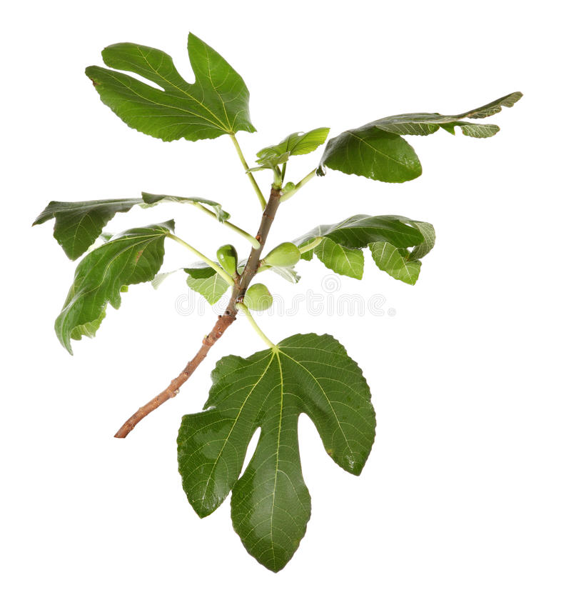 Filial dos figos com fruta no fundo branco foto de stock royalty free