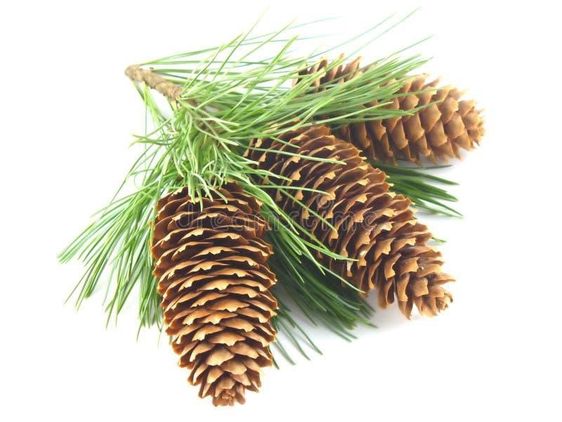 Filial e cones de árvore do pinho fotos de stock