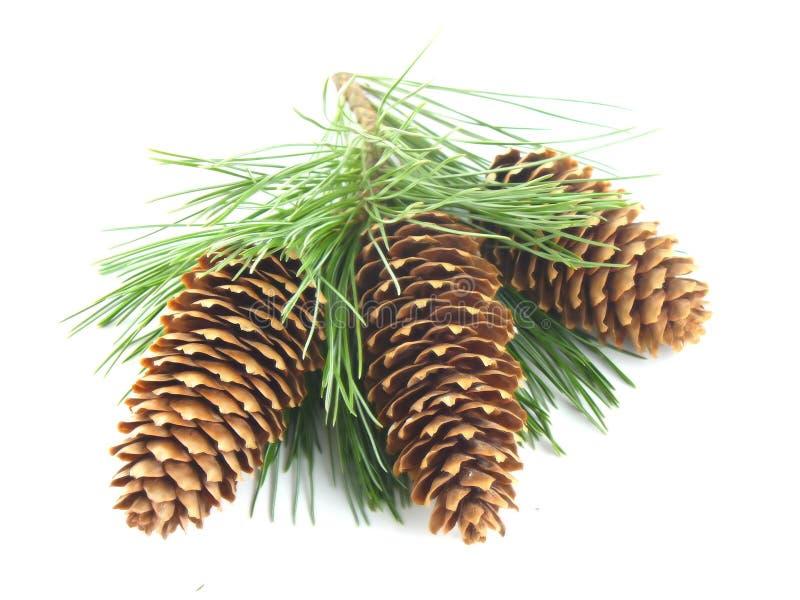 Filial e cones de árvore do pinho foto de stock royalty free
