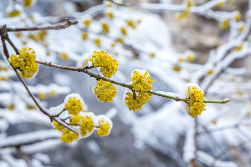 Filial för blomningskogskornell i isen i vår arkivfoton