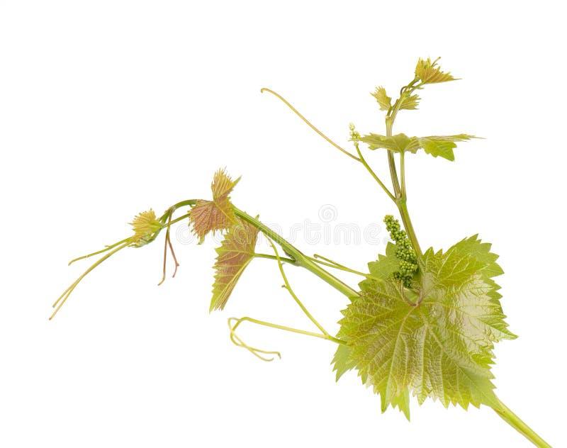 Filial för druvasidavinranka med den tropiska växten för rankor som isoleras på vit bakgrund, snabb bana royaltyfria foton
