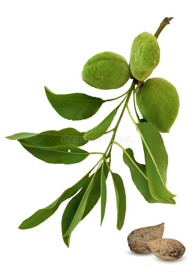 Filial f?r gr?n mandel och frukter eller unshelled muttrar som isoleras p? vit bakgrund Sidor och unga frukter av mandeltr?det arkivbild