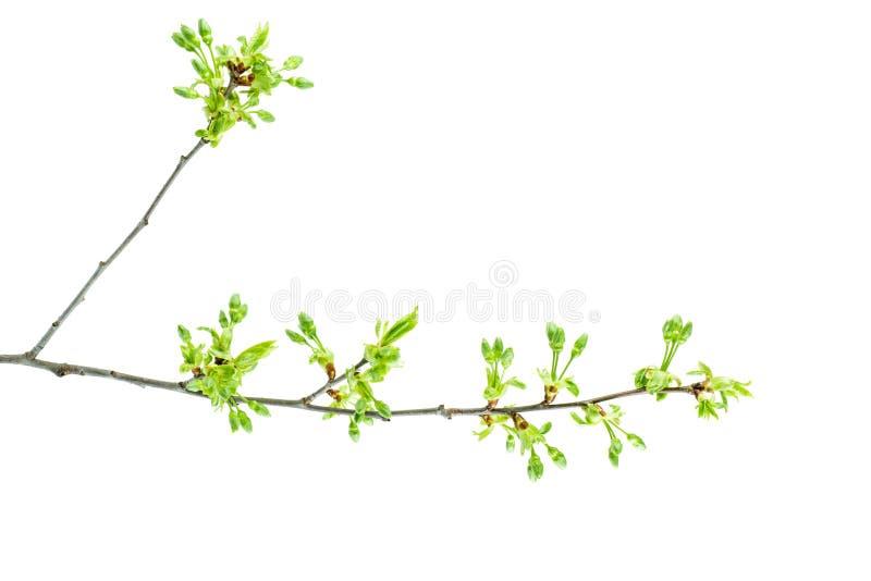 Filial för körsbärsrött träd med nya sidor och blommaknoppar arkivfoto