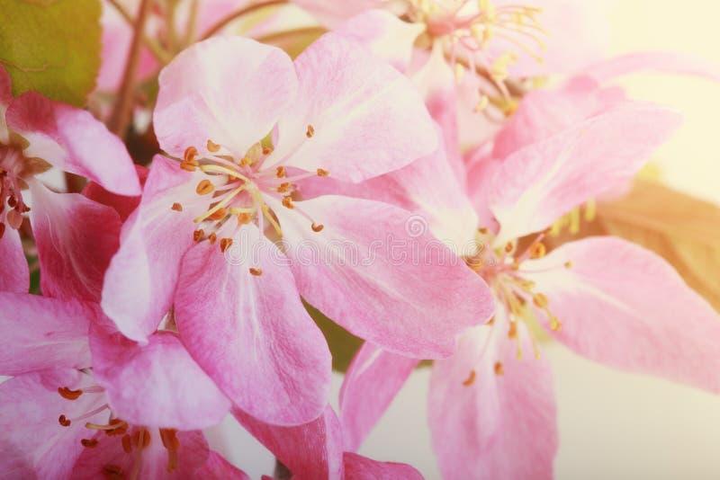 Filial f?r blomning?ppletr?d, rosa ?ppleblommor V?r tonad bild arkivfoto
