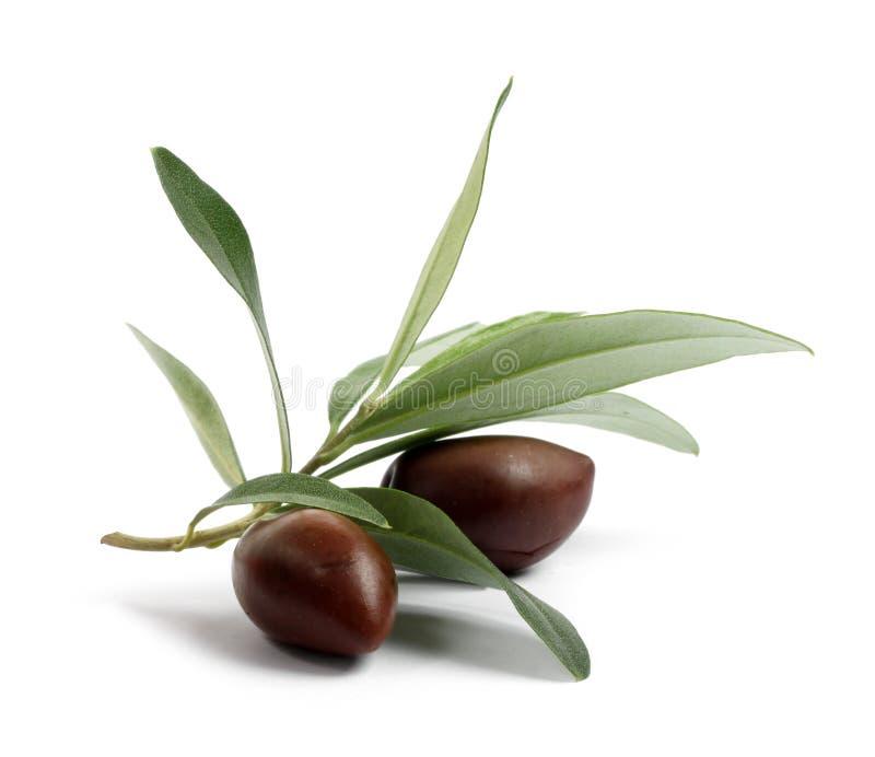 Filial fresca da oliveira com azeitonas foto de stock royalty free