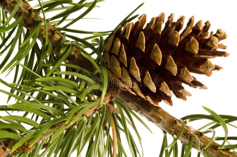 Filial isolada do pinho com cones fotografia de stock