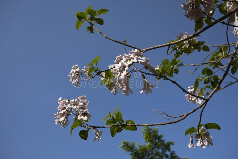 Filial med blommor av Paulowniatomentosaträdet arkivbild