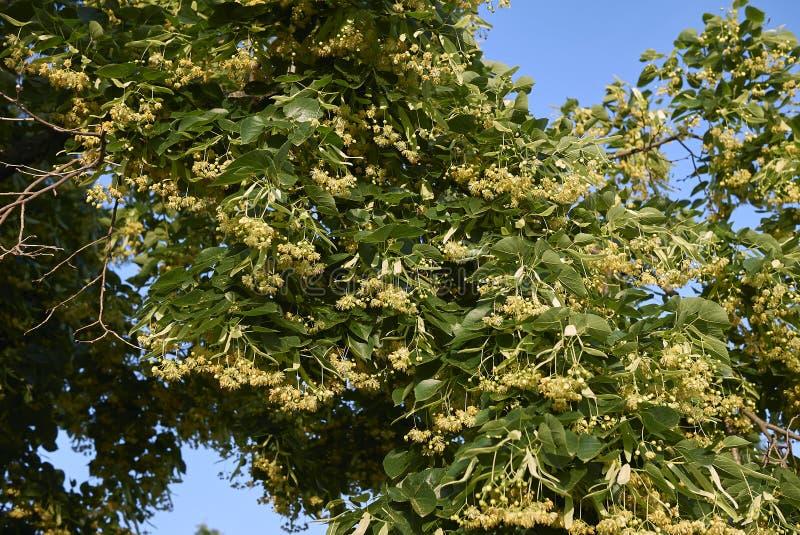 Filial med blommor av tiliaträdet fotografering för bildbyråer